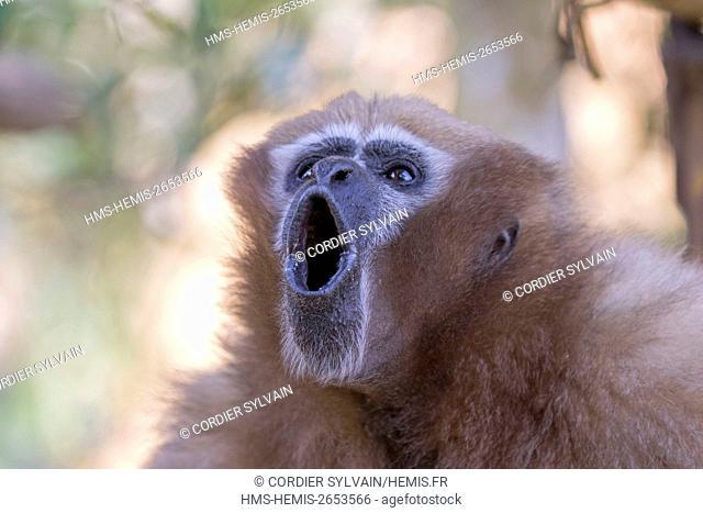 India, Tripura state, Gumti wildlife sanctuary, Western hoolock gibbon (Hoolock hoolock), adult female howling