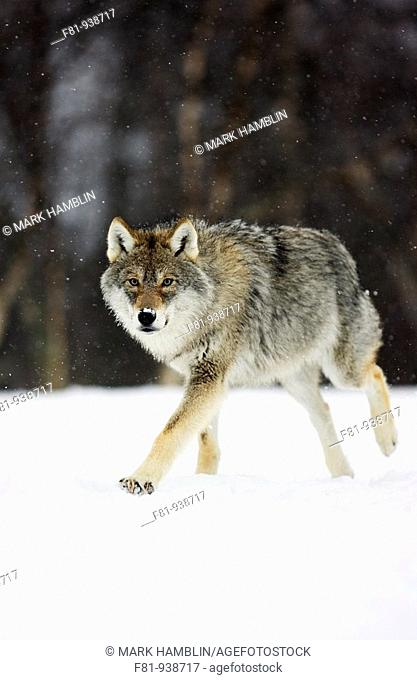 European wolf Canis lupus sub-adult runing through snow taken in controlled conditions  Norway  March 2008