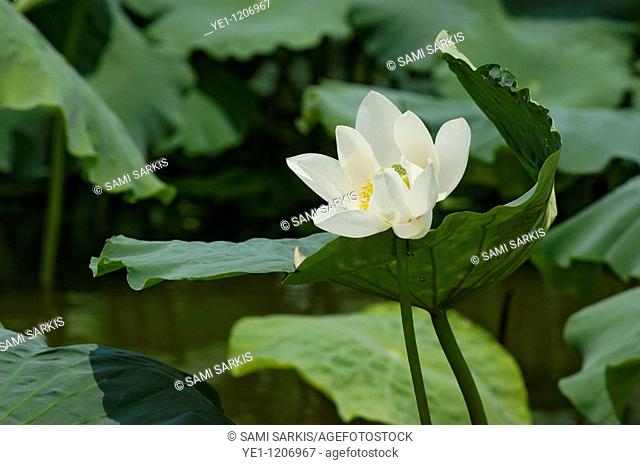 White Lotus flower (Nymphaeaceae) and leaves, Yangshuo, Guangxi, China