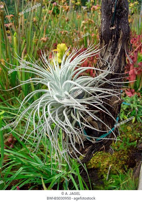 Tillandsia tectorum (Tillandsia tectorum), plant epiphytic