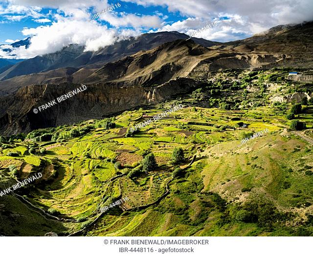 Agricultural landscape with barley fields, Upper Kali Gandaki valley, Muktinath, Mustang District, Nepal