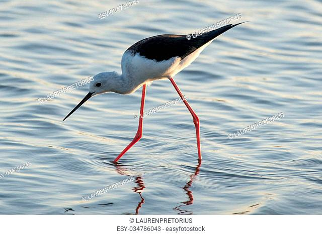 A long legged black winged stilt searches for food in Kruger National Park, South Africa