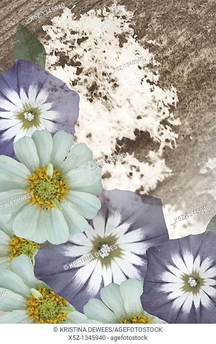 A layered image of convolvulvus and zinnia flowers
