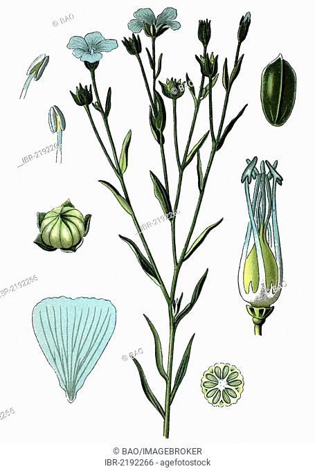 Common Flax or Linseed (Linum usitatissimum), crop, useful plant, medicinal plant, historical chromolithography, about 1870