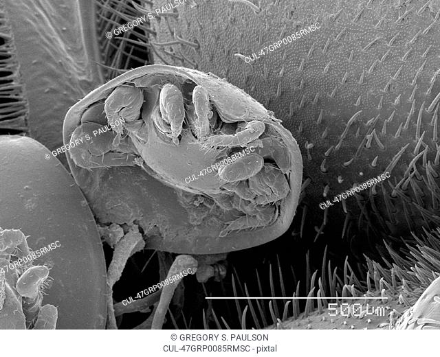 Magnified view of mite on beetle
