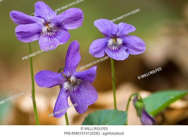 Early dog-violet, Viola sylvestris