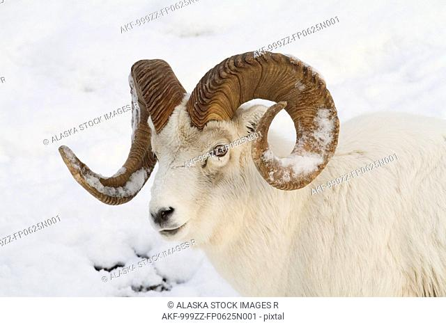 A full-curl Dall sheep ram with snow on its horns roams thru the deep snow of the Chugach mountains, Southcentral Alaska, Winter