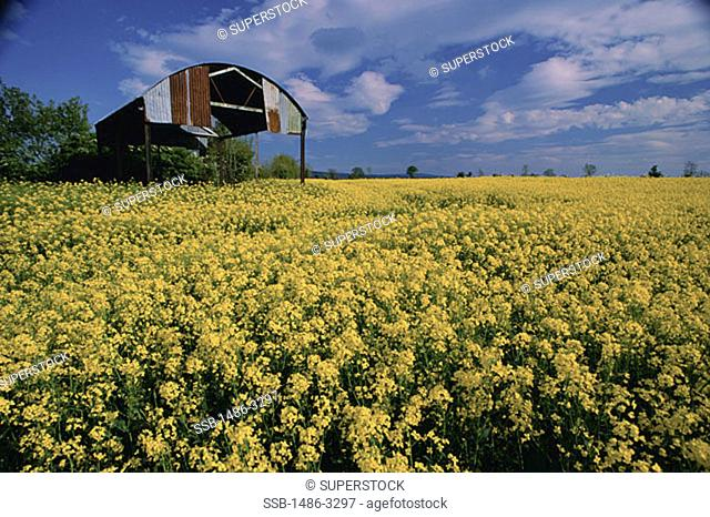Crops growing in a field, Rapeseed Field, Rathcoole, Ireland