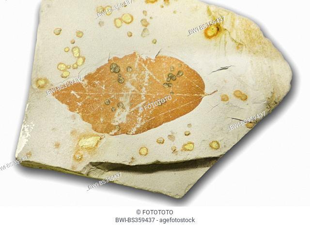 aspen, poplar (Populus spec.), fossile aspen leaf from paleogene (65-25 million years), location Germany
