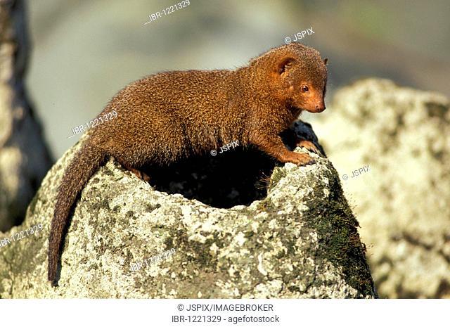 Southern dwarf mongoose (Helogale parvula)