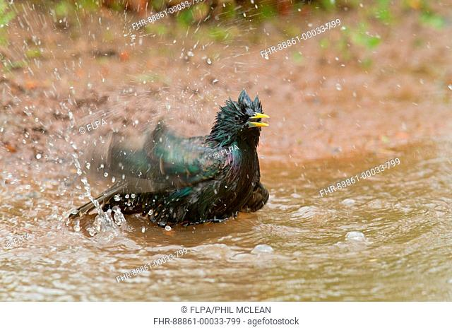 Adult Common Starling Sturnus vulgaris splashing, bathing in a garden pond in Berwickshire, Scottish Borders in may