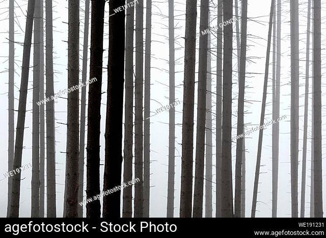 Foggy coniferous forest in Turiec region, Slovakia