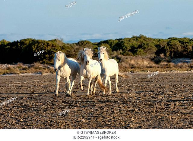 Camargue horses running on the beach, Bouches du Rhône, France, Europe