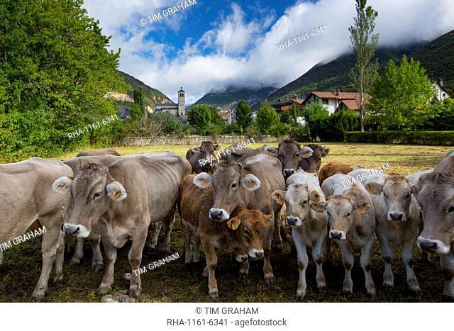 Herd of cattle in town of Biescas in Valle de Tena, Aragon, Northern Spain