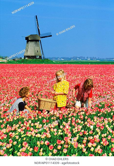 Mother and two children in a field of tulips and windmill in a distance