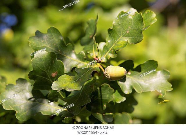oak, Quercus robur, acorns