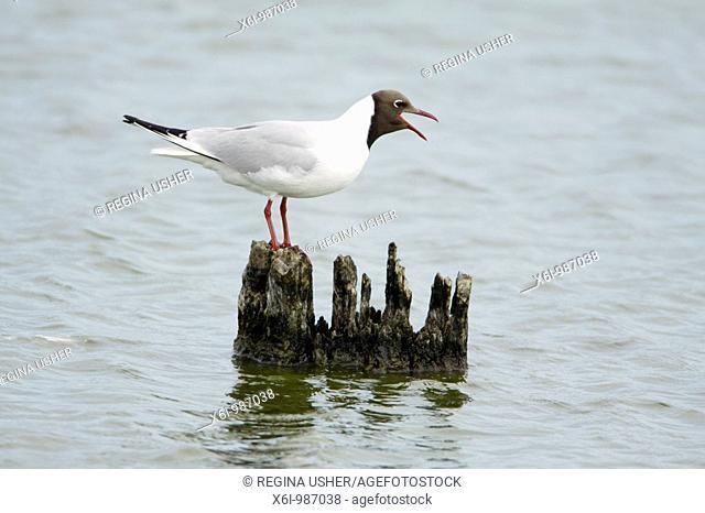 Black- headed Gull Larus ridibundus, calling from post in sea, Texel, Holland