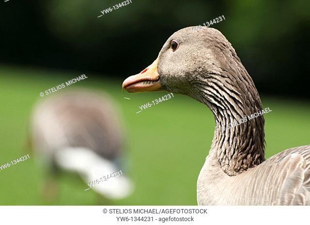 Pensive Greglag Goose