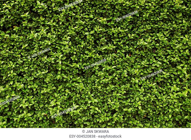 Seamless background - hedge