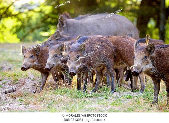 France, Haute Saone, Private park, Wild Boar (Sus scrofa), sow with youngs