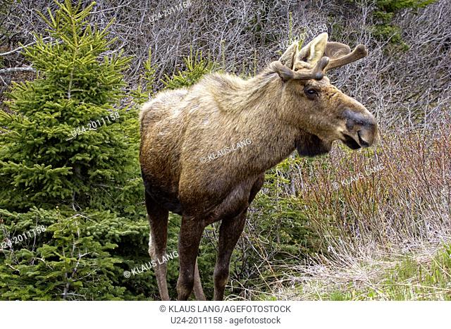 Male Moose, alces alces, Gros Morne National Park, UNESCO World Heritage Site, Newfoundland