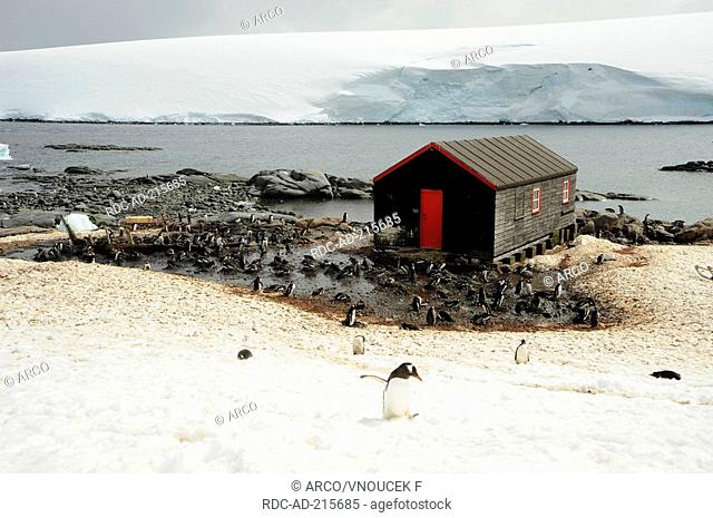 Gentoo Penguins, Port Lockroy, Antarctica, Pygoscelis papua