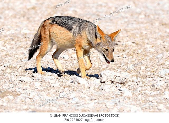 Black-backed jackal (Canis mesomelas), walking on stony ground, Etosha National Park, Namibia, Africa