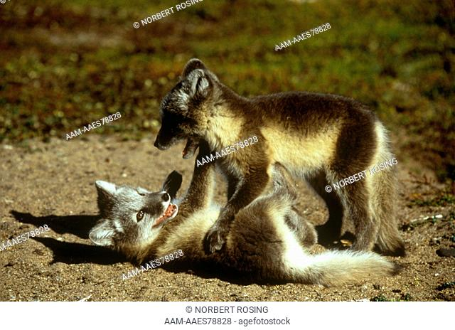 Arctic Fox Pups (Alopex lagopus) learning hunting skills through play, Churchill, Manitoba, Canada