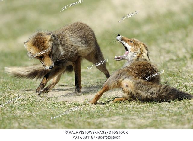 Red Foxes ( Vulpes vulpes ), rivals in fierce fight, struggle, chasing each other, wildlife, Europe