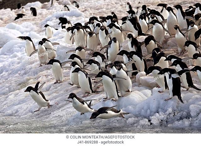 Adelie penguins diving off beach, Possession Islands, northen Ross Sea