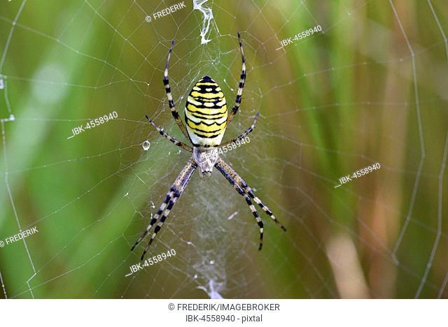 Wasp spider (Argiope bruennichi), female in the net, Germany