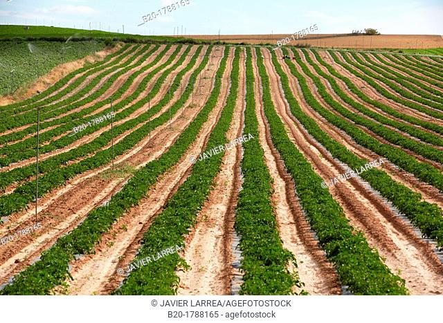 Tomato growing field, Agricultural fields, High Ribera, Arga-Aragon Ribera, Navarre, Spain