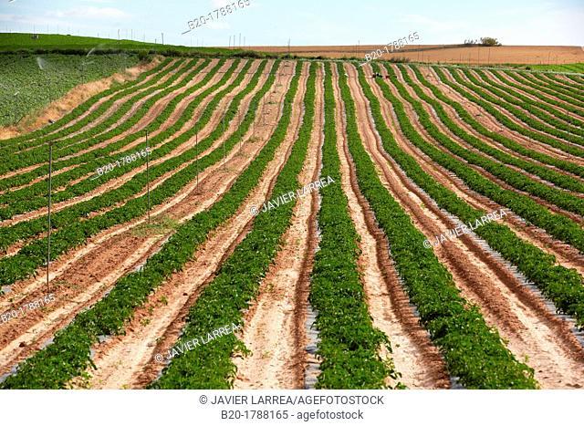Tomato growing field, Agricultural fields, High Ribera, Arga-Aragon Ribera, Navarre, Spain