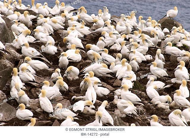 Bird rocks at Cape St. Mary's ecological seabird reserve, Avalon Peninsula