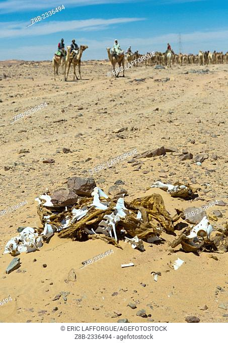 Dead Camel In Front Of A Herd Going To Egypt, Dongola, Sudan