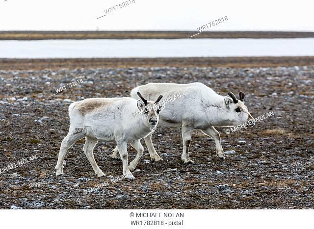 Svalbard reindeer (Rangifer tarandus) on the tundra in Varsolbukta, Bellsund, Spitsbergen, Arctic, Norway, Scandinavia, Europe