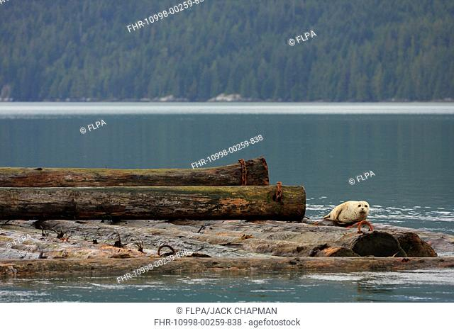 Pacific Common Seal (Phoca vitulina richardsi) adult, being towed on log boom, Knight Inlet, Coast Mountains, British Columbia, Canada, September