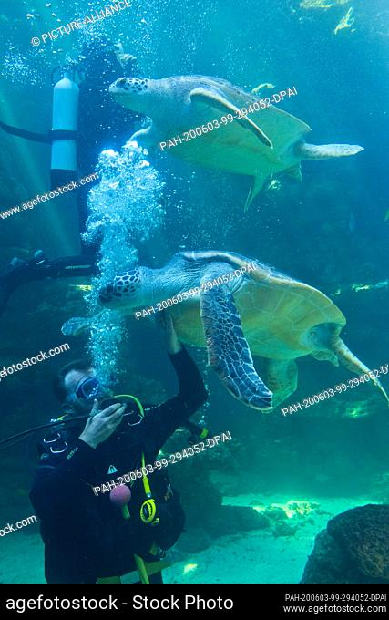 03 June 2020, Mecklenburg-Western Pomerania, Stralsund: Divers dive with turtles in an aquarium at the Meeresmuseum of Stralsund