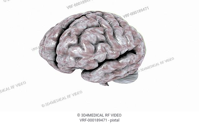 Animation depicting a full rotation of the brain, with the different lobes indicated by color