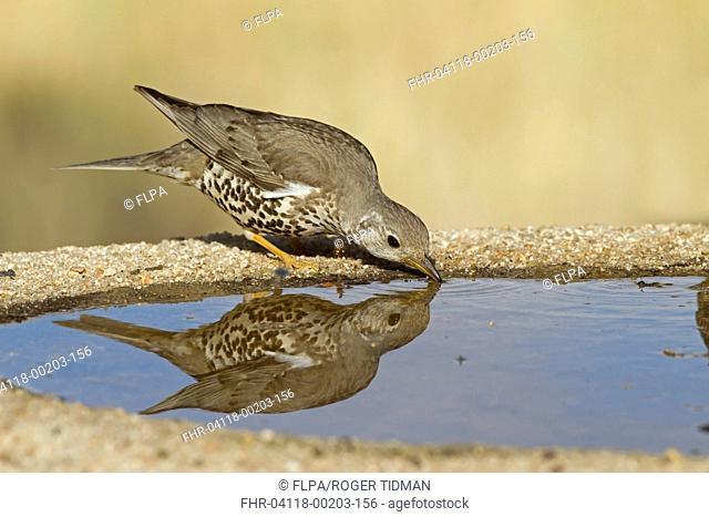 Mistle Thrush (Turdus viscivorus) adult, drinking at pool, Castilla y Leon, Spain, May