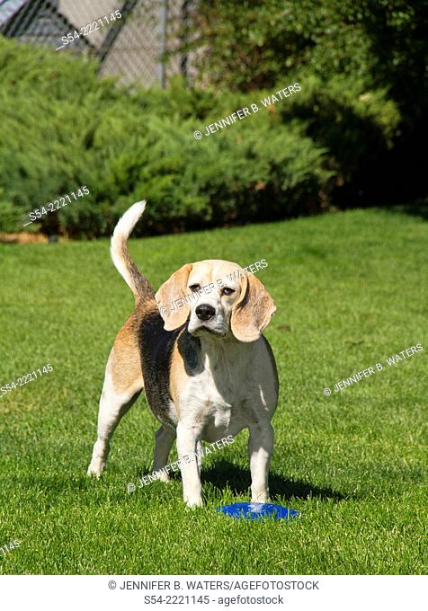 A beagle dog outdoors