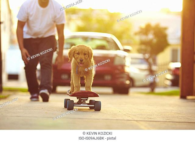 Labrador puppy on skateboard, owner following behind