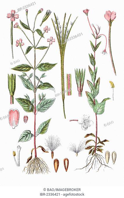 Left: Broad-leaved Willowherb (Epilobium montanum), right: Willowherb (Epilobium hypericifolium), medicinal plant, historical chromolithography, ca
