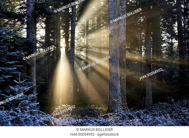 Wood, Pleerwald, light, the sun, sunrays, sunray, winter, frost, white frost, hoarfrost, hoarfrost, mood, light mood, fir Buchenwald, Emmental, mixed forest