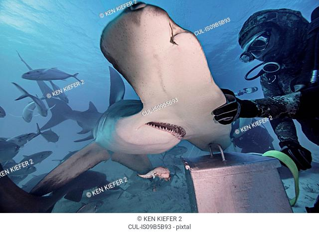 Underwater view of diver with hand on hammerhead shark
