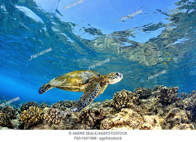 Juvenile green sea turtle, Chelonia mydas, swims in shallow coral reef, Captain Cook, Big Island, Hawaii, North Pacific