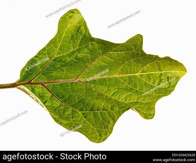 Green leaf of aubergine bush. Isolated on white background