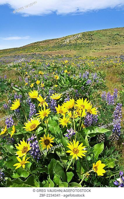Balsamroot and lupine wildflowers along Dalles Mountain Road, Columbia Hills, Washington