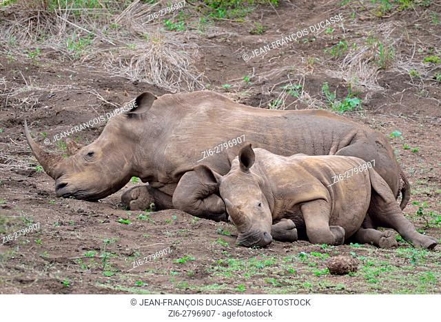 White rhinoceroses or Square-lipped rhinoceroses (Ceratotherium simum), mother with calf, half asleep, early in the morning, Kruger National Park, South Africa