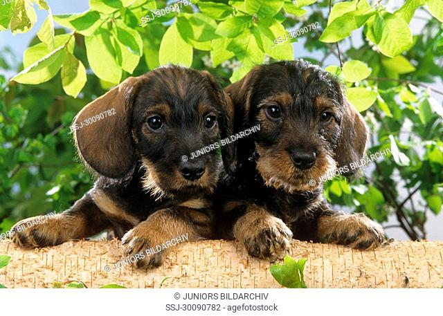 two wire-haired dachshund puppies